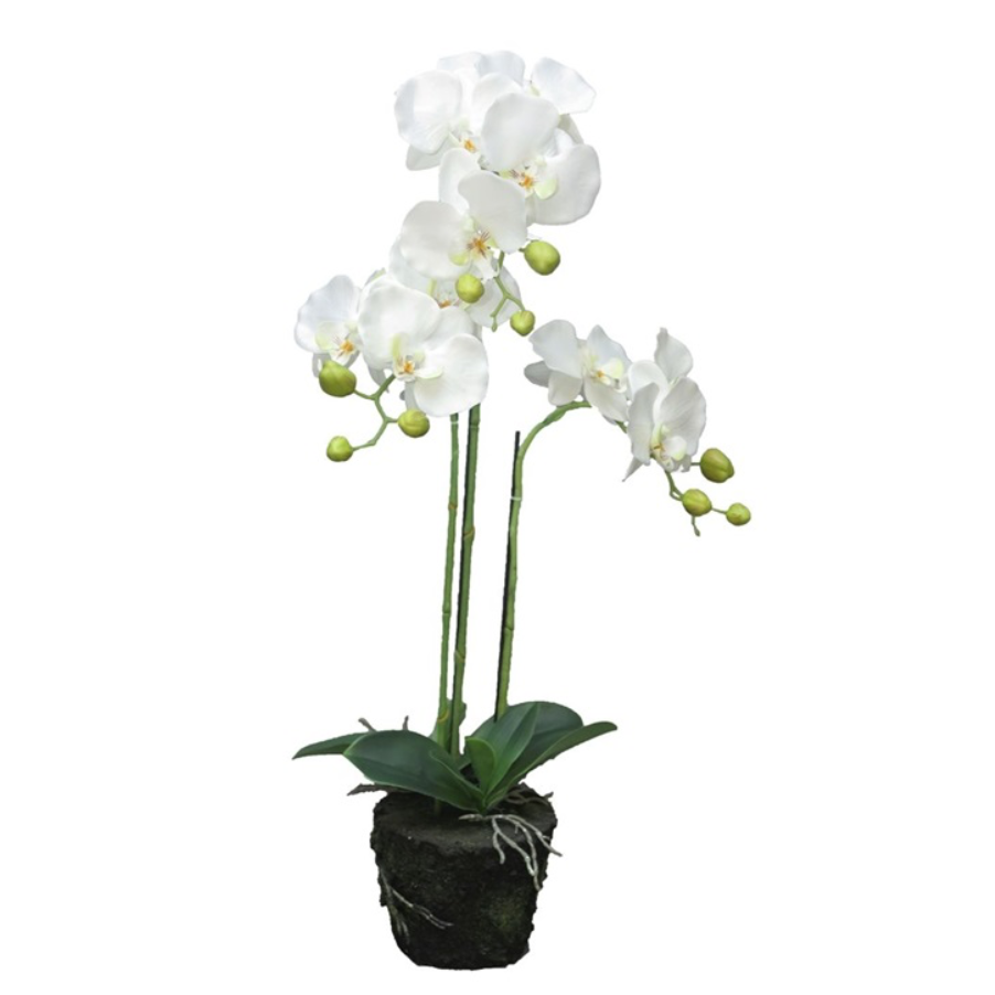 orchidee plant