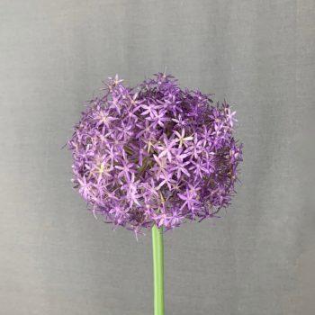 Allium bol