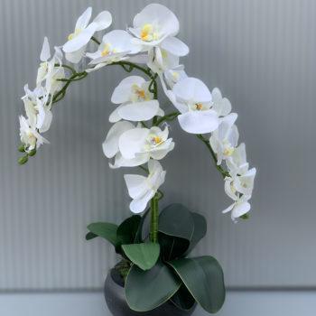 Phalaenopsis kunst