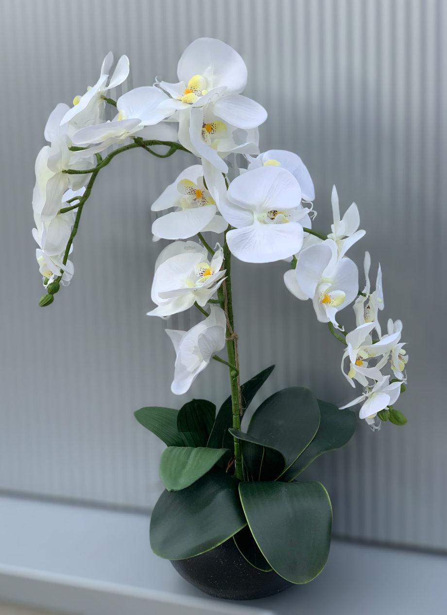 Phalaenopsis zijden